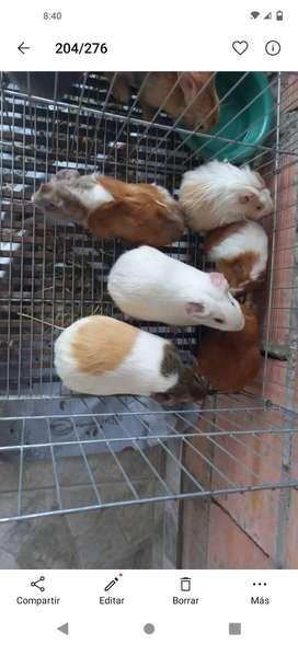 Venta de conejos y conejillos de indias