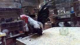 Vendo gallos y dos parejas de 4 meses nagasaki