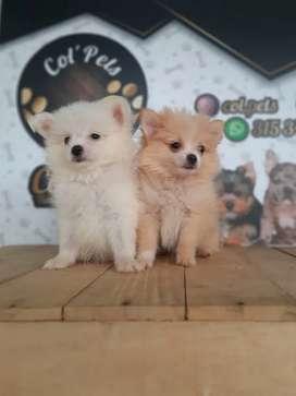 Expectaculares perros de la mejor genetica pomeranias garantizados miniatura