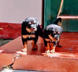 Venta de cachorros rottwailr