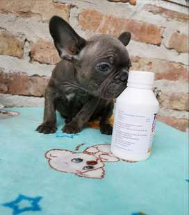 Se vende Bulldog francés blue brindle