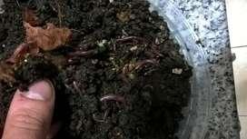 Núcleo iniciador para lombricultura 1 Kg