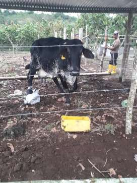 Vaca parira Gyr pura