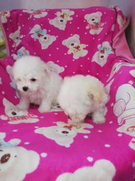 ** french poodle Mini