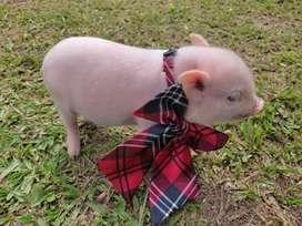 Hermoso mini pig