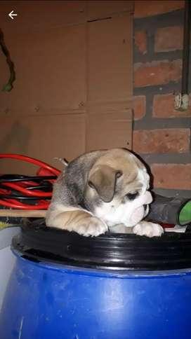 Vendo cachorros bulldog dog inglés