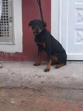 Vendo o cambio perros Rotwailer puros  cachorros de 4 meses Negociable