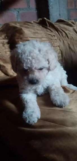 Bueno mi cachorro poodle hembra vacunada desparasitada