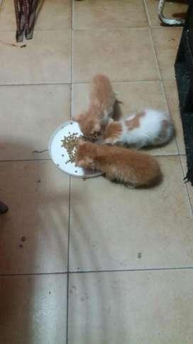 Doy en Adopcion Gatitos Los 3 Son Machos