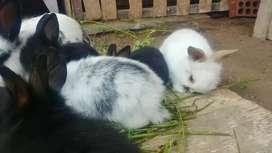 Vendo par de Conejitos raza enana