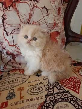 Gato persa 65 dias