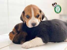 ¡¡Cachorros Beagle Tricolor en Pet Vital!!