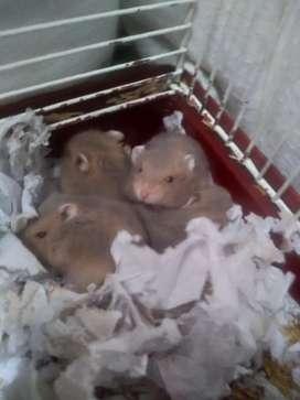 Se venden hamstercitos rusos