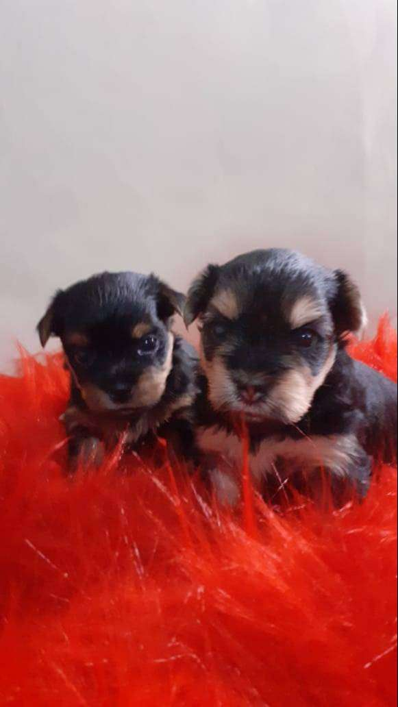 Cachorros Yorshire 0