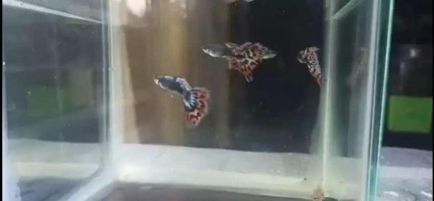 Vendo pez guppys de línea mosaicos, red tail, Dragones por unidad parejas o trios 0