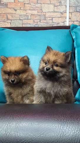 Cachorros pomerania lulu mini