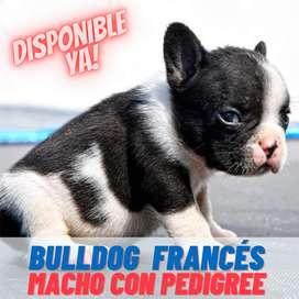 Cachorro Bulldog Frances vaquita con papeles