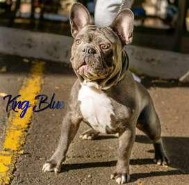 OFERTA!! Bulldog Francés Blue Disponible Monta