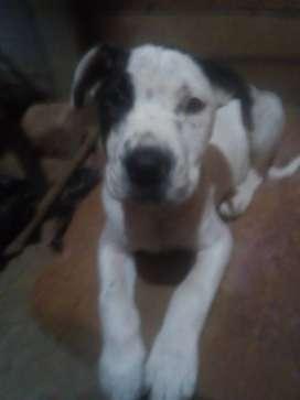 Vendo cachorro Pitbull 2 mes e y medio vacunado y desparacitado macho