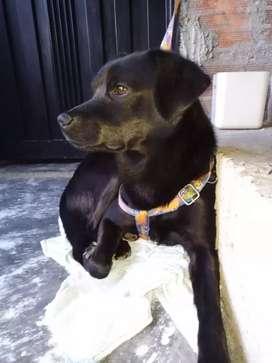 Perro de 8 meses pequeño en adopción Medellín