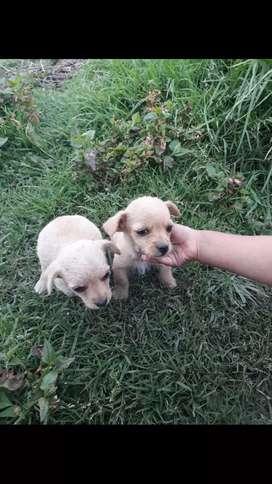 Se vende perritos mini pincher