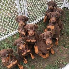 doberman cariñosos cachorros puros y sanos