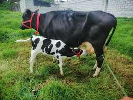 Vendo bonita vaca monga holstin con cria