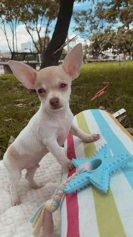 Chihuahua macho bello bicolor
