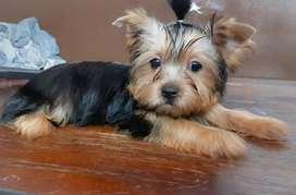 Hermoso cachorro yorkshire terrier listo para entregar!! Lanus oeste.