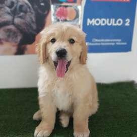 Hermoso cachorro golden 48 día de nacido