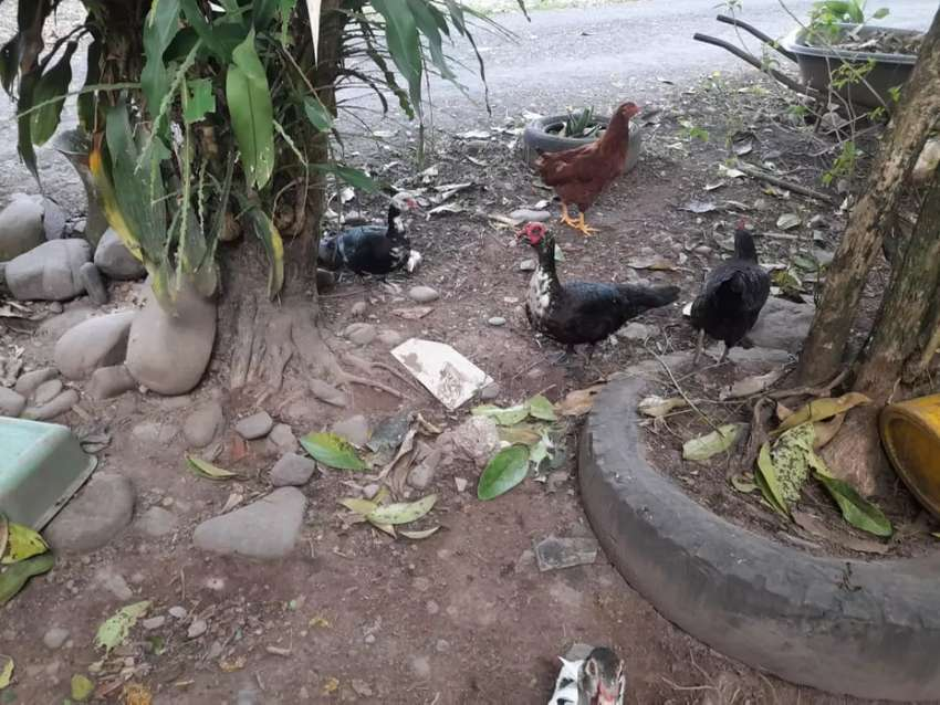 Patos mudos y chilenos