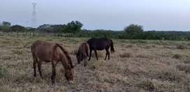 yegua preñada de burro,, mulita y mulo