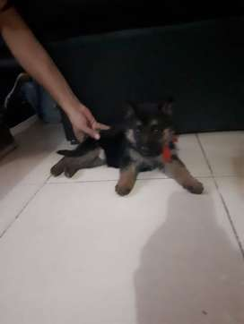 Cachorro Ovejero Alemán macho