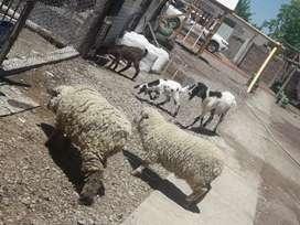 Vendo ovejas 1 añito chivas pavos   chancha madre de 10 lechones