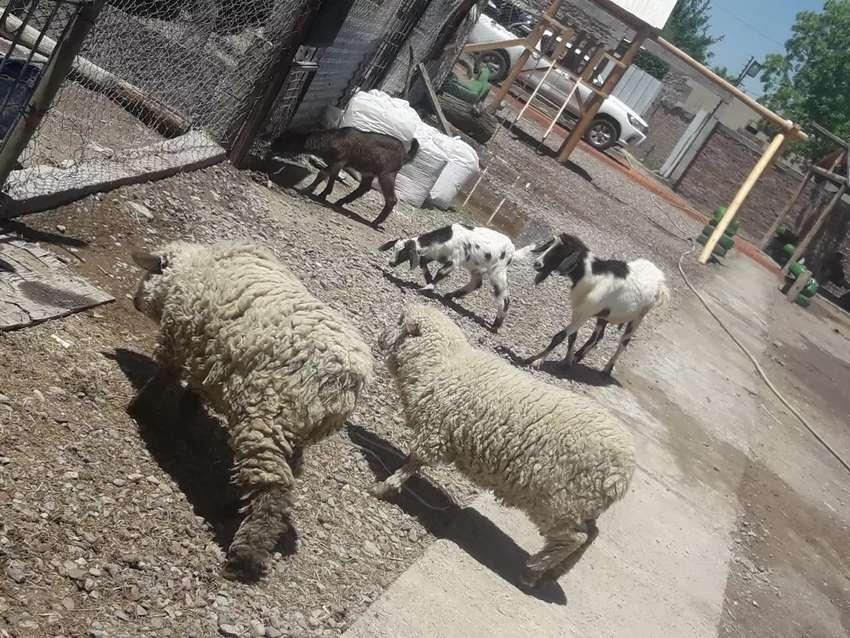 Vendo ovejas 1 añito chivas pavos   chancha madre de 10 lechones 0