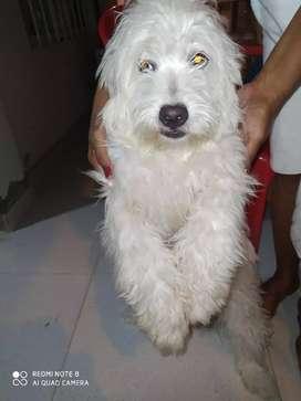 French poodle Cachorra de 6 meses