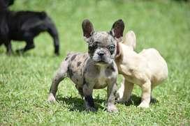 Hermosos Bulldog Francés Cancan Mascotas