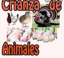 Venta de gallinas ponedoras, así mismo tenemos crianza de animales
