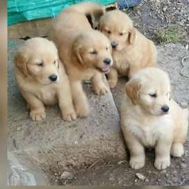 Especiales cachorros golden retriever garantizados