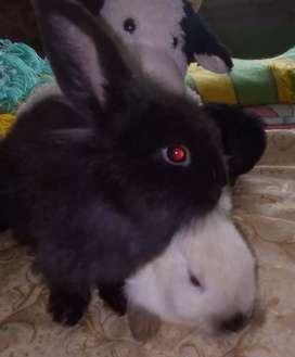 Vendo conejos por parejas