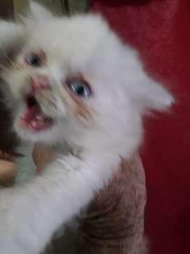 gatos persas de 45 dias comen solos
