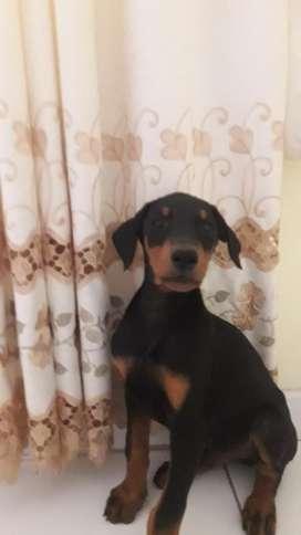 Cachorros Doberman Chincha Al 980441616
