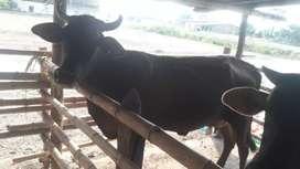 Vendo ganado