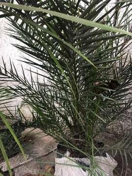 palmera phoenix canariensis