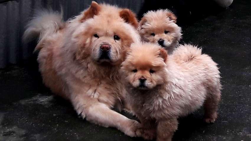 Cachorros CHOW-CHOW PUPPY; Lechigada 2020 0