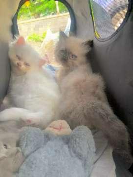 Gatos persa 2 meses de nacidos