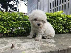 bellisimos french poodle mini toy