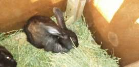 Conejos ideales para mascota y reproducción