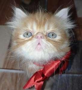 Vendo lindos gaticos persas
