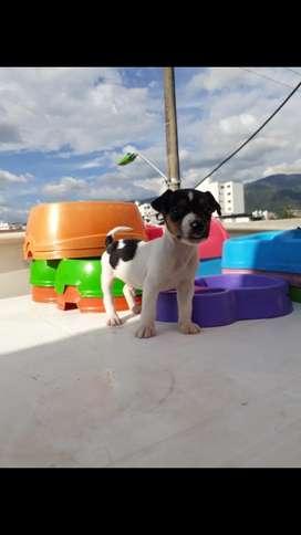 Jack Russell Hay Varios Colores en Venta